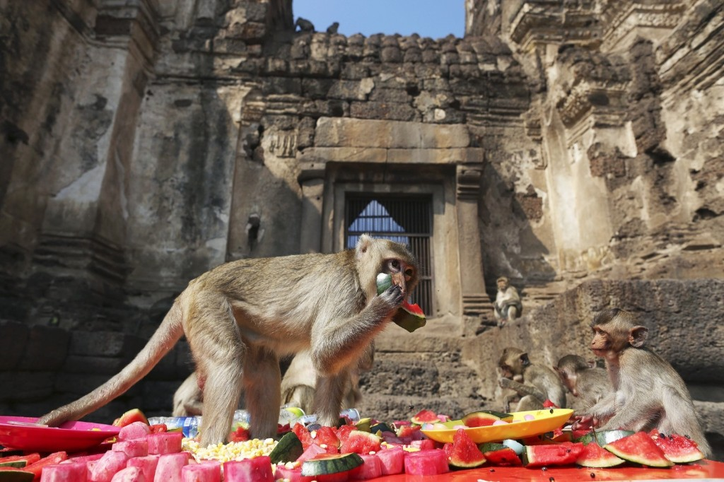 Long-tailed macaques enjoy food served to them during the annual Monkey Buffet Festival at the Pra Prang Sam Yot temple in Lopburi, north of Bangkok. REUTERS/Damir Sagolj