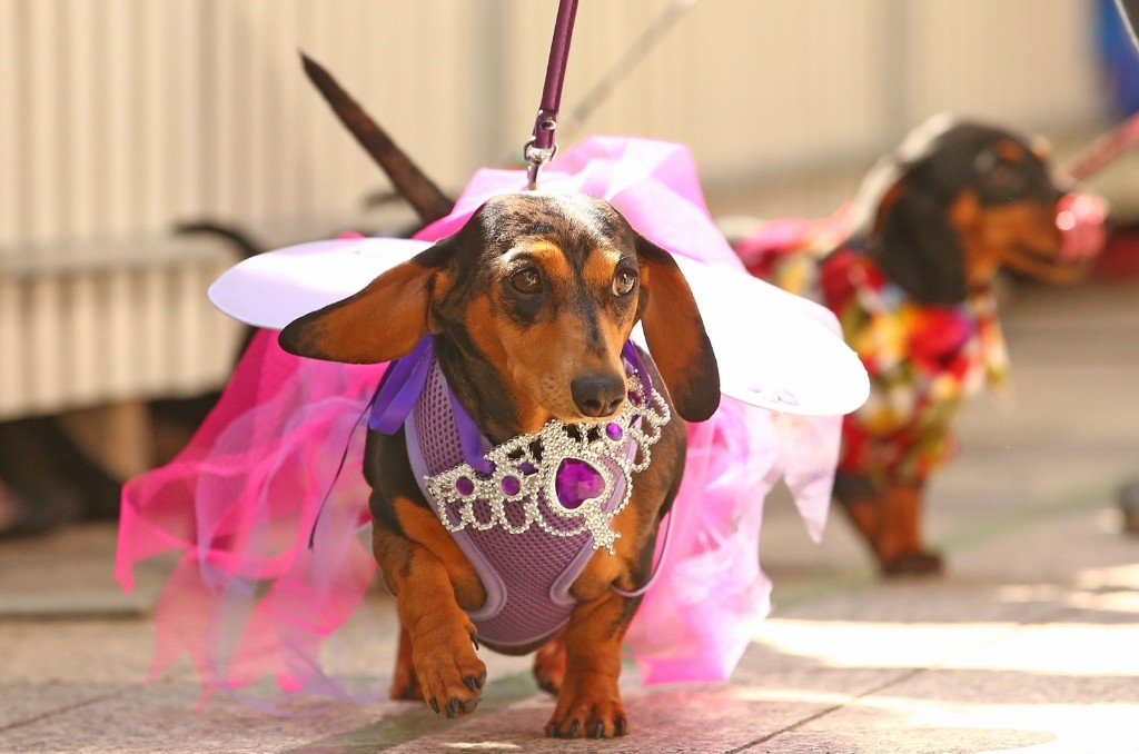 Mini dachshunds compete in the Hophaus Southgate Inaugural Best Dressed Dachshund competition, Satuday, in Melbourne, Australia. Scott Barbour/Getty Images