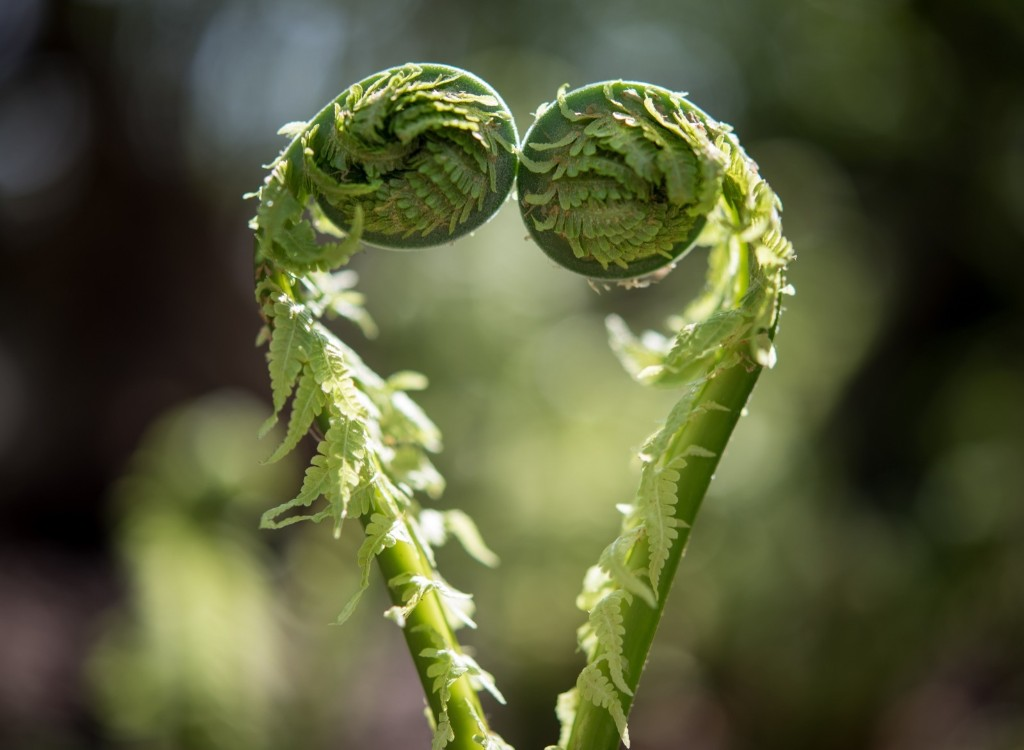 A heart-shaped fern in Briesen, Germany. PATRICK PLEUL/AFP/Getty Images