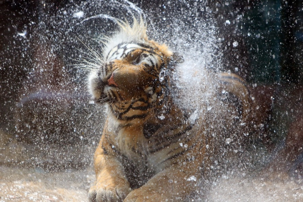 A tiger takes a shower at a zoo in Jinan, Shandong Province of China. VCG/VCG via Getty Images