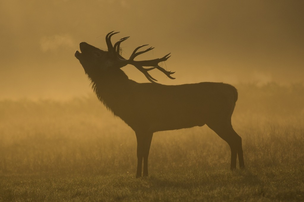A deer in the morning mist in London's Richmond Park. Rob Stothard/Getty Images