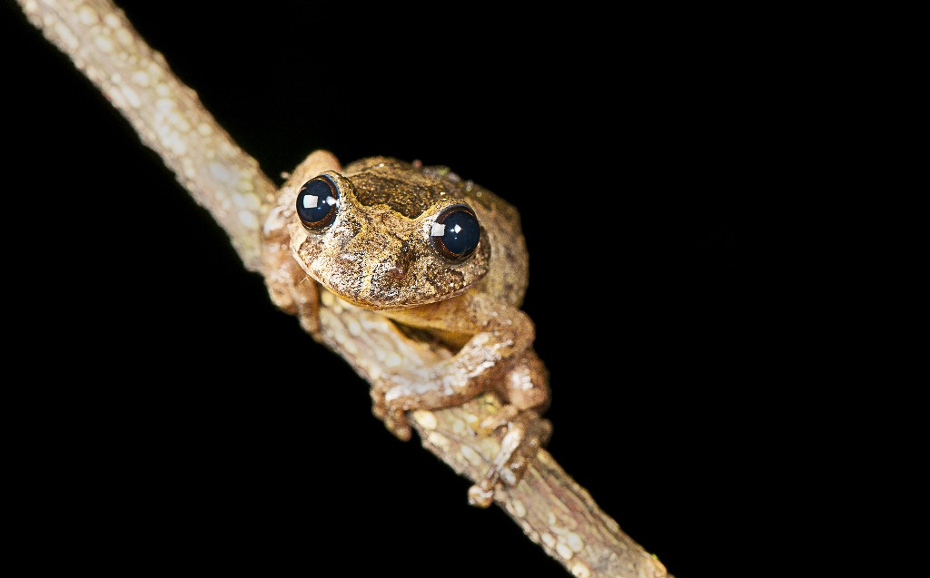 Scientists ID new genus of tree frogs long thought extinct