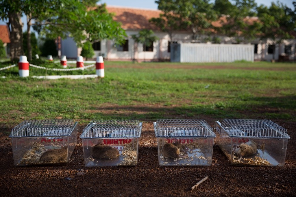 Mine detection rats nap in the shade after finishing their morning training, Thursday in Siem Reap, Cambodia. Taylor Weidman/Getty Images