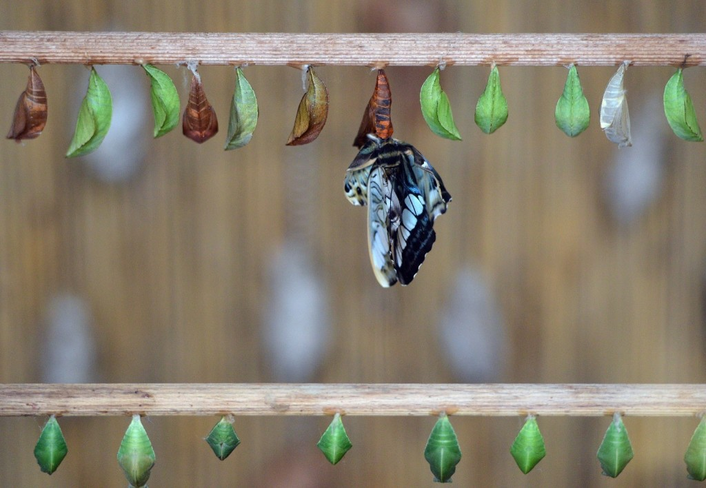 A butterfly comes out from its cocoon during an exhibition of tropical butterflies at the botanical garden in Prague. MICHAL CIZEK/AFP/Getty Images