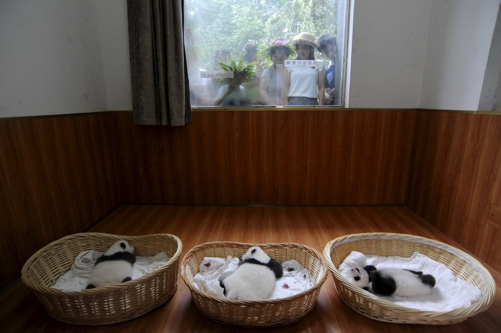 People look through a window as giant panda cubs lie inside baskets during their debut appearance to visitors at a giant panda breeding centre in Ya'an, Sichuan province, China, Friday. REUTERS/Stringer