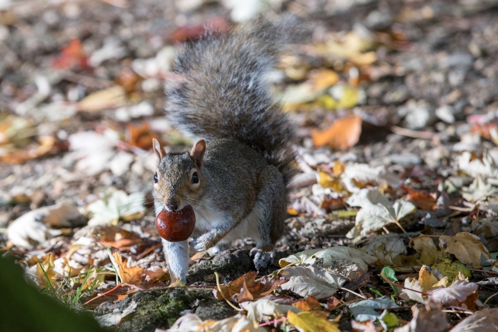 A squirrel picks up a conker beneath trees in Royal Victoria Park in Bath, England. Matt Cardy/Getty Images