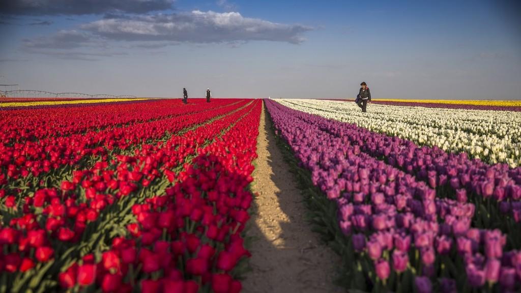 Tulip fields in Karatay, Konya, Turkey. Murat Oner Tas/Anadolu Agency/Getty Images