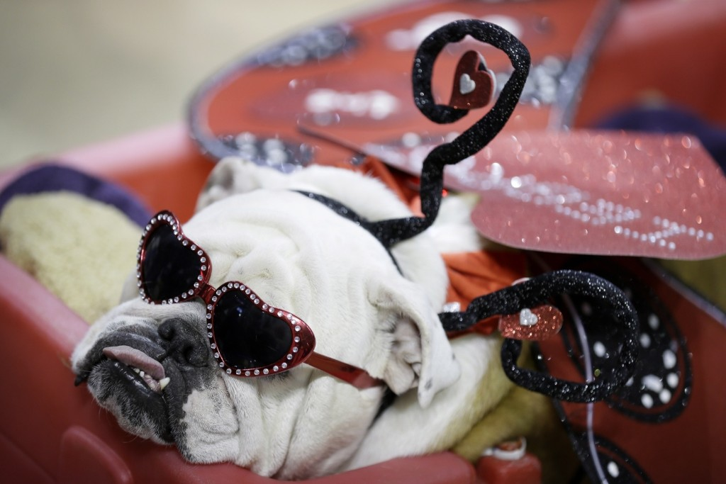 Linus the LoveBug naps during the 36th annual Drake Relays Beautiful Bulldog Contest in Des Moines, Iowa. AP Photo/Charlie Neibergall