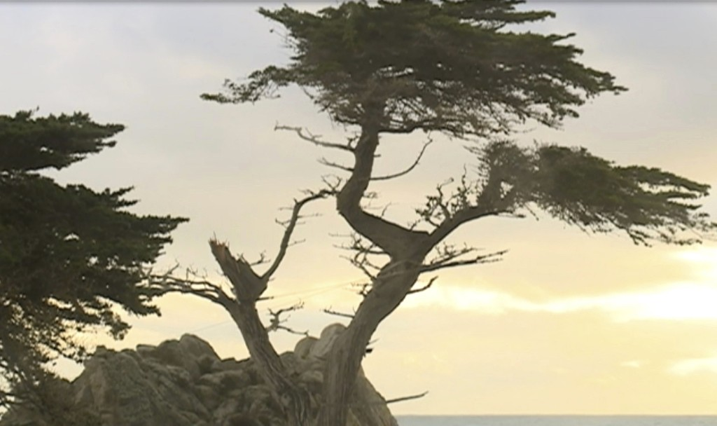 "This Friday, Feb. 15, 2019, still image taken from video and courtesy of KSBW station shows the damaged Lone Cypress tree in Pebble Beach on the Monterey Peninsula in Monterey County, Calif. Gusty winds during a recent storm broke a branch of the famous cypress tree believed to be more than 250 years old on California's northern coast. The Pebble Beach Company said Friday that despite the damage, an arborist has recently examined the Lone Cypress and confirmed it's ""healthy and remains secure on its rocky perch."" (KSBW via AP)"