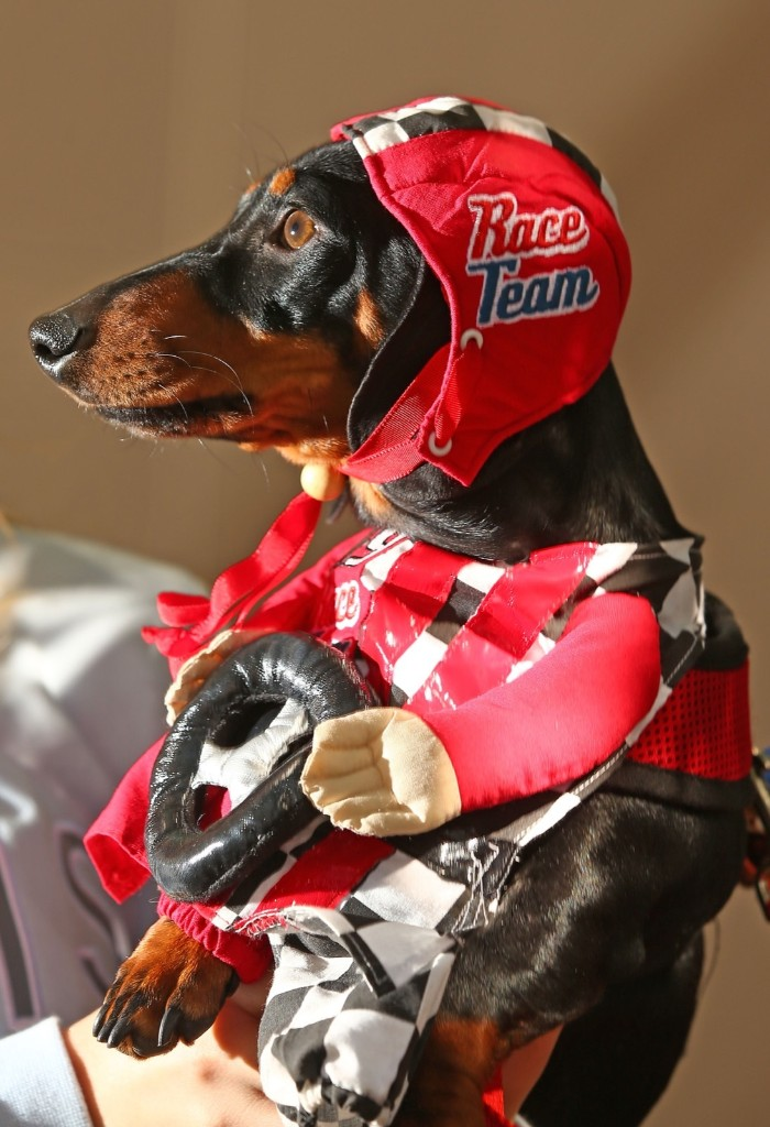 Cooper, dressed as a racing car driver competes in the Hophaus Southgate Inaugural Best Dressed Dachshund, Satuday, in Melbourne, Australia. Scott Barbour/Getty Images