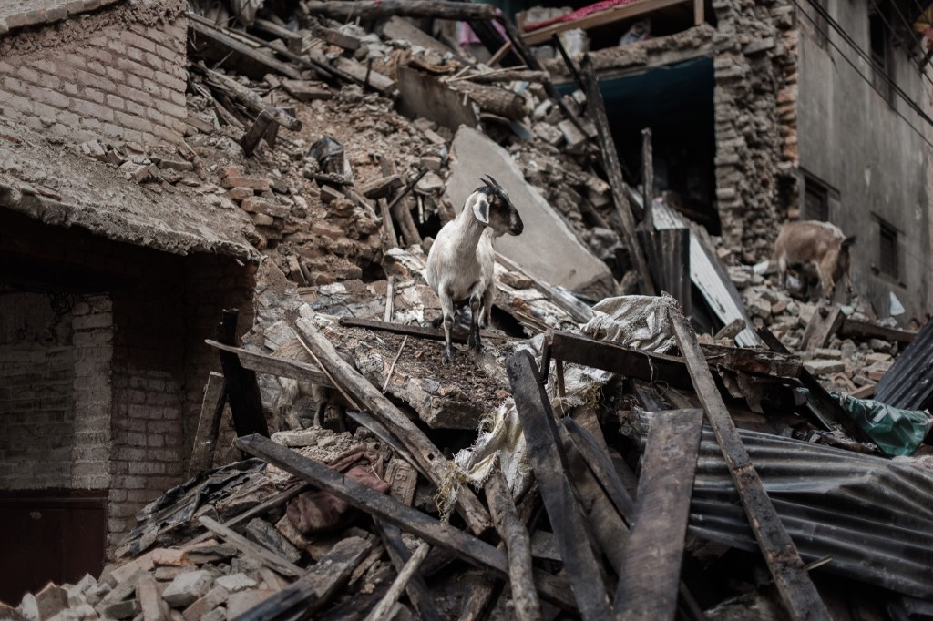 Goats look for food in the wreckage of a house in Khokana, a village dating back hundreds of years, near Kathmandu. PHILIPPE LOPEZ/AFP/Getty Images