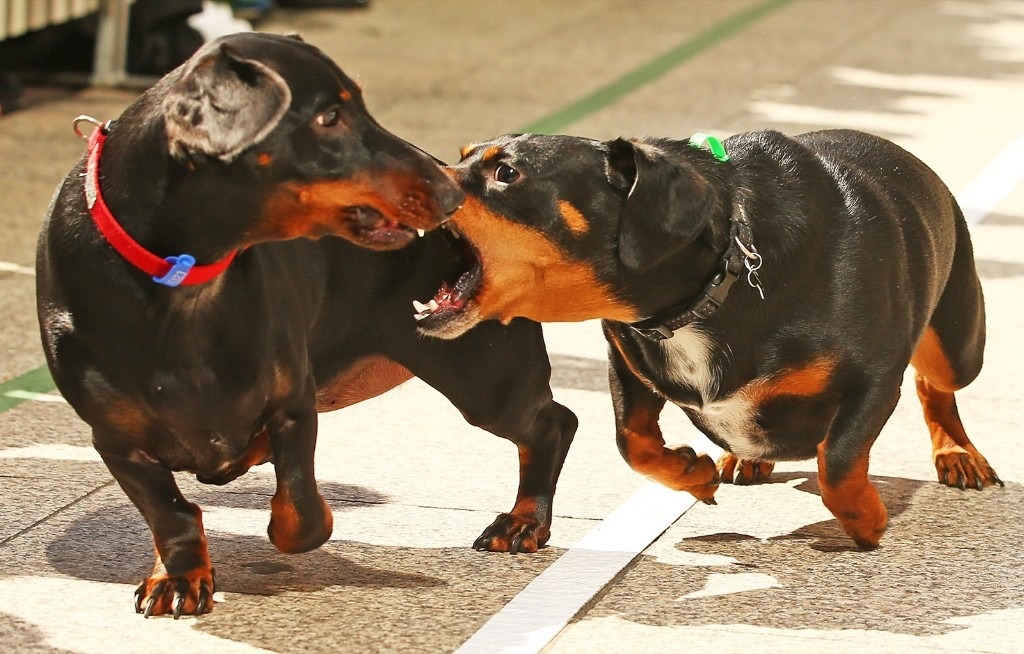 A mini dachshund chases a competitor as he competes in the Hophaus Southgate Inaugural Dachshund Running of the Wieners Race, Satuday, in Melbourne, Australia. Scott Barbour/Getty Images