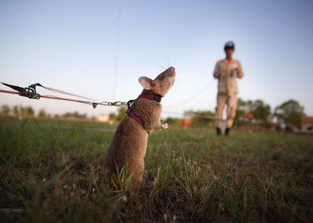 A rat searches for land mines and unexploded ordnance during a training session, Thursday, in Siem Reap, Cambodia. The Cambodian Mine Action Center (CMAC) working with the Belgian NGO APOPO has recently begun testing the feasibility of using large mine detection rats from Tanzania to help clear fields of mines and unexploded ordnance in one of the most bombed and mined countries in the world. Taylor Weidman/Getty Images