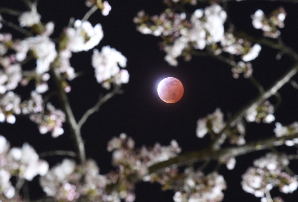 A total lunar eclipse seen between cherry blossoms in Shiraishi, Miyagi prefecture. REUTERS/Kyodo