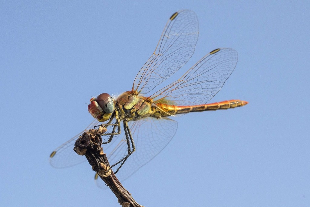 A Southern Darter dragonfly in the Israeli coastal city of Netanya. JACK GUEZ/AFP/Getty Images