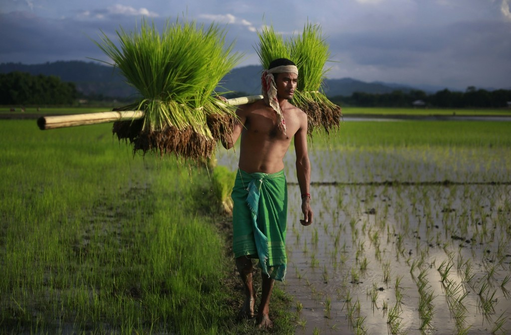 A farmer carries paddy for transplantation on the outskirts of Gauhati, India. AP Photo/Anupam Nath