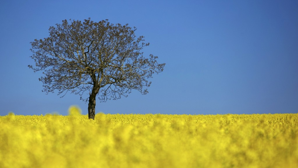 A tree in a blooming rapeseed field on a spring morning in Vufflens-la-Ville near Lausanne. REUTERS/Denis Balibouse