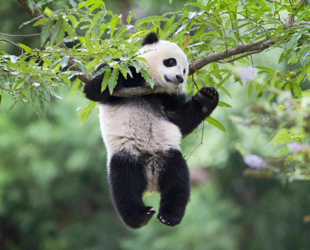 Panda cub Bao Bao at the National Zoo in Washington on her first birthday. AP Photo/Pablo Martinez Monsivais
