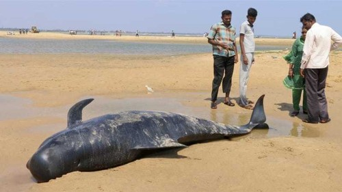 Dozens of whales die in mass stranding on India beach