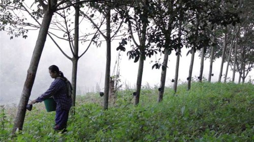 Drug addiction grows on Thai rubber farms