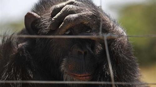 US court: Chimpanzees have no human rights