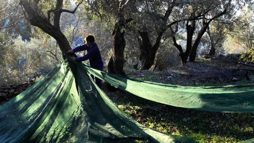 Why are so many young Greeks turning to farming?