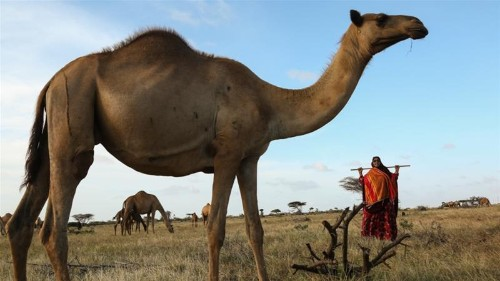 Meet Somalia's trailblazing female camel trader