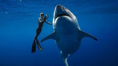 Divers spot 'gentle grandma' white shark off Hawaii