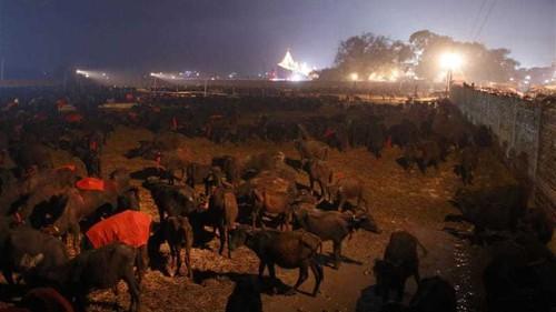 Nepal's mass animal slaughter under way