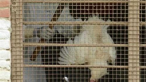 Second woman dies of bird flu in Egypt