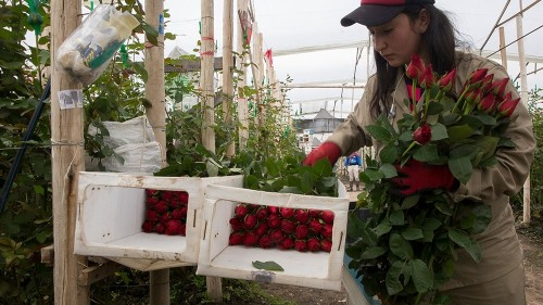 From drugs to flowers: Colombia's Valentine's Day rose boom
