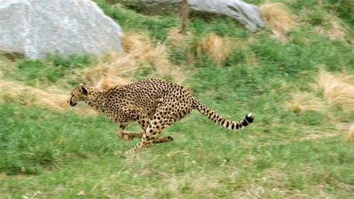 Cheetah fundraiser to save the world's fastest animal