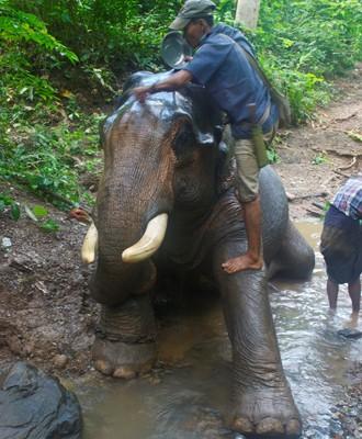 Burma's Last Timber Elephants