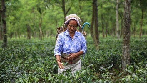 In Pictures: Plight of India's tea plantation workers