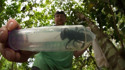Wallace's giant bee, world's largest, refound by scientists
