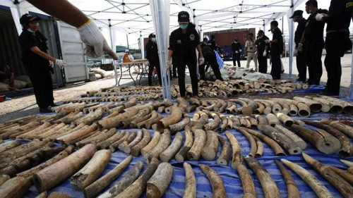 Thailand seizes four tonnes of ivory in record bust