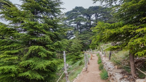Can Lebanon's cedars outlive climate change and a pesky insect?
