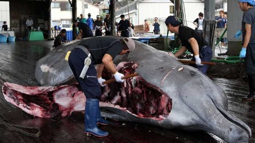Japan starts first whale hunt since UN ruling