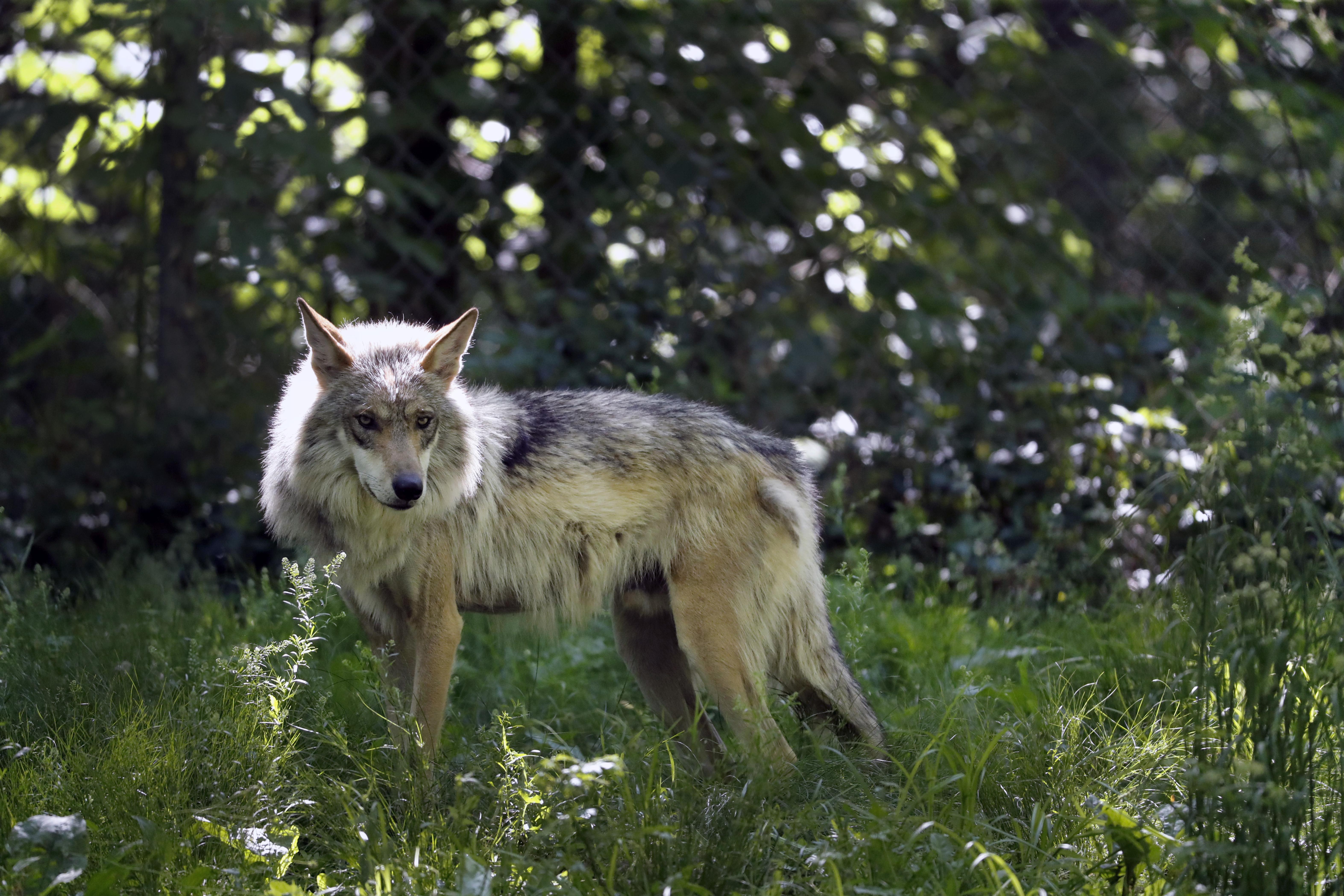 Endangered Mexican wolves blamed for more livestock deaths