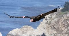 Discover california condor
