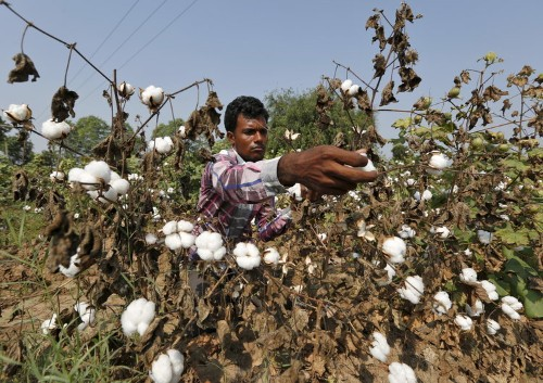 An Indian scientist is on the verge of making genetically modified cotton