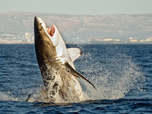 Killer whales feast on the livers of great white sharks — just one orca sighting can keep the sharks away for a year