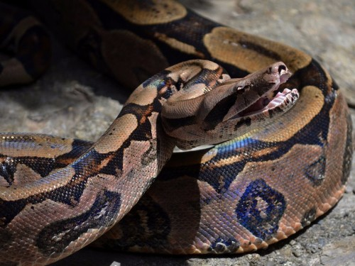 We were completely wrong about the way Boa constrictors kill