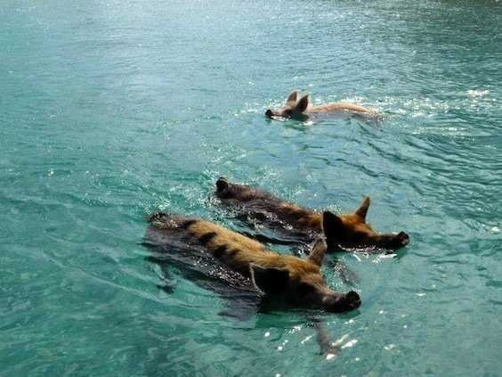 There's A Tiny Island In The Bahamas Filled With Swimming Pigs