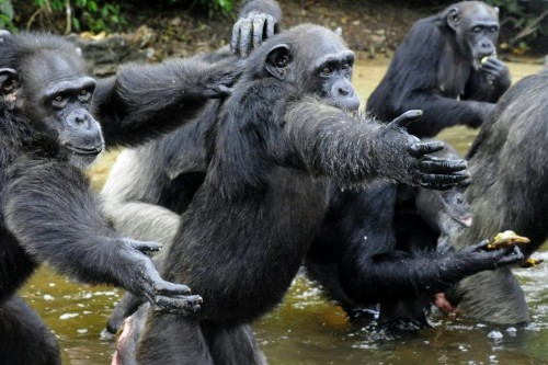 Liberia's 'Planet of the Apes' chimps facing starvation