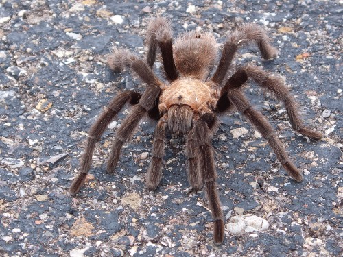 Tarantulas emerge from underground to mate in San Francisco Bay Area - Business Insider
