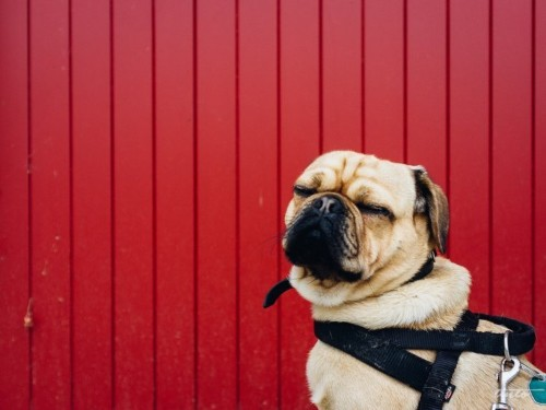 12 lazy dog breeds that make the perfect low-maintenance pets