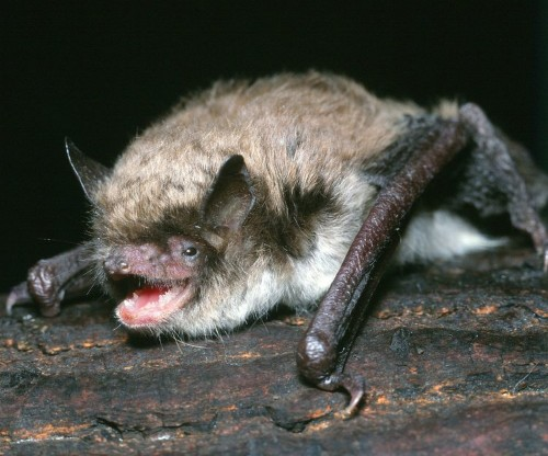 How Tiny Bats Can Help Us Extend Human Life