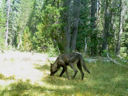 California just spotted its first wild wolf pack in nearly a century