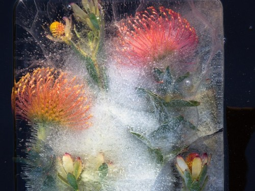 A photographer captures stunning photos of flowers frozen in ice